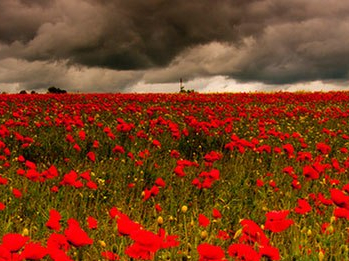 A field of poppies. Peace is not simply the absence of war.
