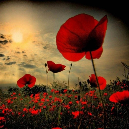 Field of Poppies - Remembrance Day 2019